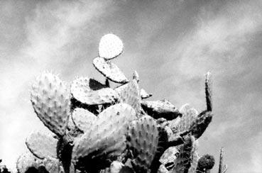 israeli-cactus.jpg